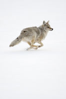 running fast... Coyote *Canis latrans*