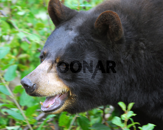 A black bear in it's natural environment