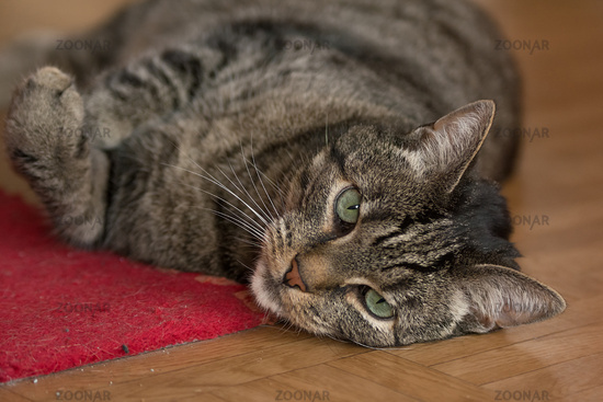A gray cat is lying on the floor in an apartment