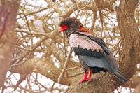 Bateleur, Kruger NP, South Africa