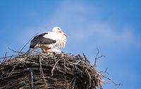 White storks in their nest