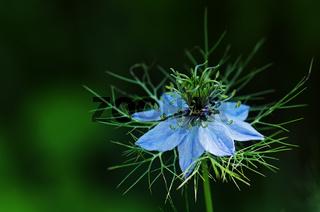 Blüte einer 'Jungfer im Grünen'