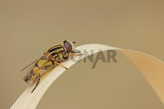 Grosse Sumpfschwebfliege (Helophilus trivittatus)