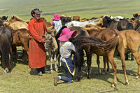 Young man brings foal to a mare to reassure her during milking, Mongolia