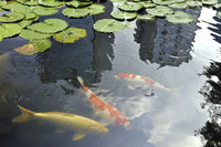 color carp - koi fishes  among green waterlily leafs in Japanese pond with skyscrapers reflection