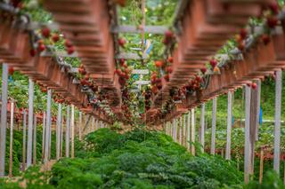 Strawberry fruits on plants on strawberry farm