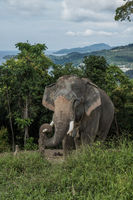 Elephant on the hill in Phuket