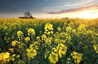 canola seed flower field st sunset