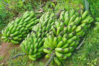 Raw bananas