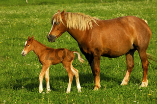 Hannoveraner Stute mit Fohlen auf der Koppel / Hanoverian mare with foal on a pasture