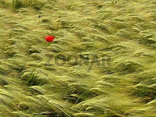 Mohn und Korn / red poppy
