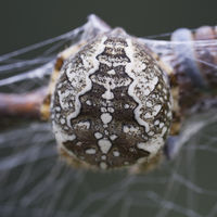 back of a cross spider