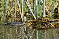 Great crested grebe (Podiceps cristatus) at the nest