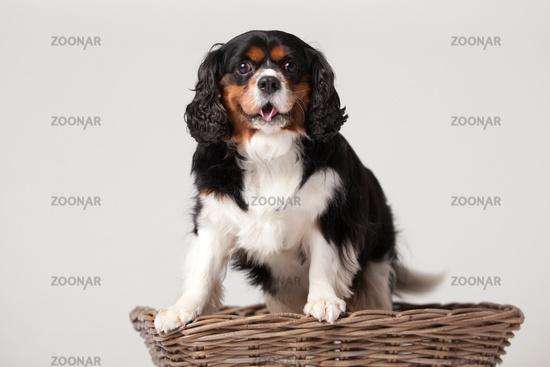 Cavalier King Charles-spani#195;#171;l in basket