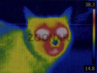 Cat Head Thermal Imaging