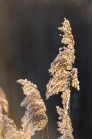 Reed in Sunrise, Schilf im Gegenlicht