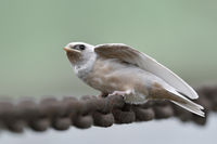 fledged but hungry... ( white ) Barn Swallow chicks *Hirundo rustica*