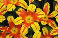 Fire Wings Tulpen