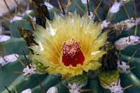 Kaktus (Ferocactus pottsii), Vorkommen Mexiko