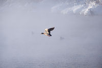 Wild duck Anas platyrhynchos fly in mist on altai lake