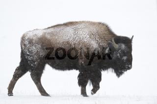 Nationaltier... Amerikanischer Bison *Bison bison*