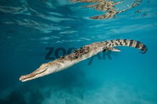 Salzwasser-Krokodil, Crocodylus porosus, Palau, Saltwater Crocodile