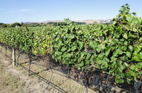 Vines with black grapes
