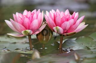 Seerose, Wasserrose, Nymphaea sp., Water-lily