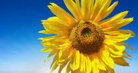 Yellow sunflower on blue sky