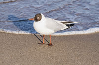 Lachmoewe | Black-headed gull