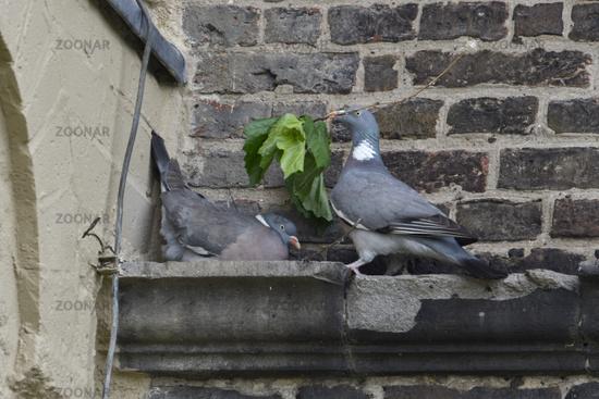 nesting... Wood Pigeons *Columba palumbus*