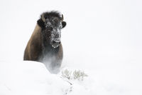 breaking through the snow... American Bison *Bison bison*