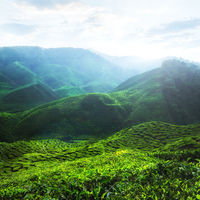 Tea plantation under sunset sky. Malaysia