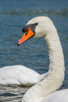 Beautiful large white swan