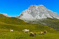 Kühe auf Bergweide vor der Sulzfluh