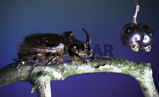 European rhinoceros beetle - Oryctes nasicornis (Linnaeus, 1758) and Blackcurrant - Ribes nigrum (Linnaeus 1753)
