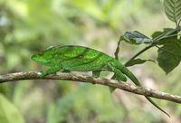 Female Panther Chameleon (Calumma parsonii), Madagascar