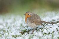 fluffy... Robin Redbreast *Erithacus rubecula*