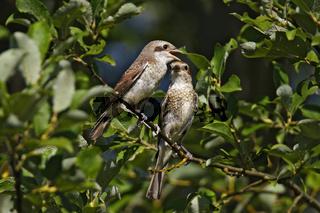 Neuntoeter - Weibchen mit Jungvogel, Lanius collurio, red-backed shrike – female with squab