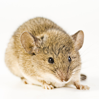 Hausmaus (Mus musculus) - House Mouse (Mus musculus)