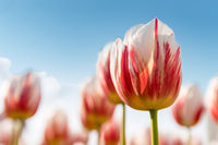 tulips blooming in spring