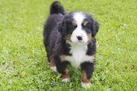 Junnger Berner Sennenhund 03