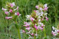 Langblättrige Kardendistel, Morina longifolia - Morina longifolia, a nice wildflower