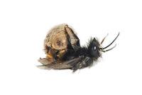 Hatching  of a mason bee (Osmia cornuta)