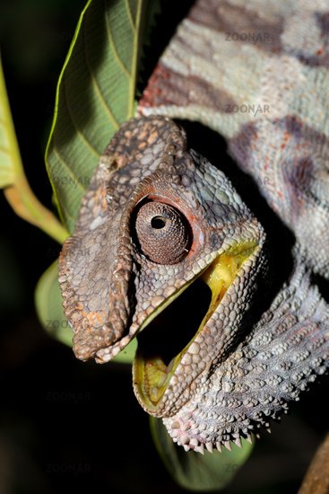 angry panther chameleon (Furcifer pardalis)