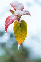 frozen leaves closeup in winter