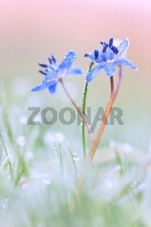 Blausternchen im Frost