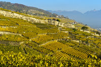 Terrace Lavaux vineyards in autumn, Rivaz, Lavaux, Vaud, Switzerland