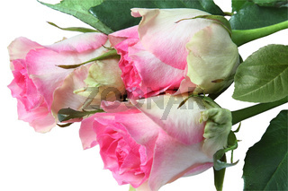 Bouquet of pink roses. Isolated on white