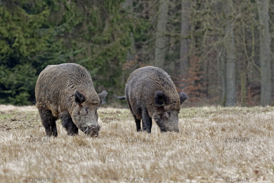 Wild boars (Sus scrofa), tusker, Schleswig Holstein, Germany, Europe